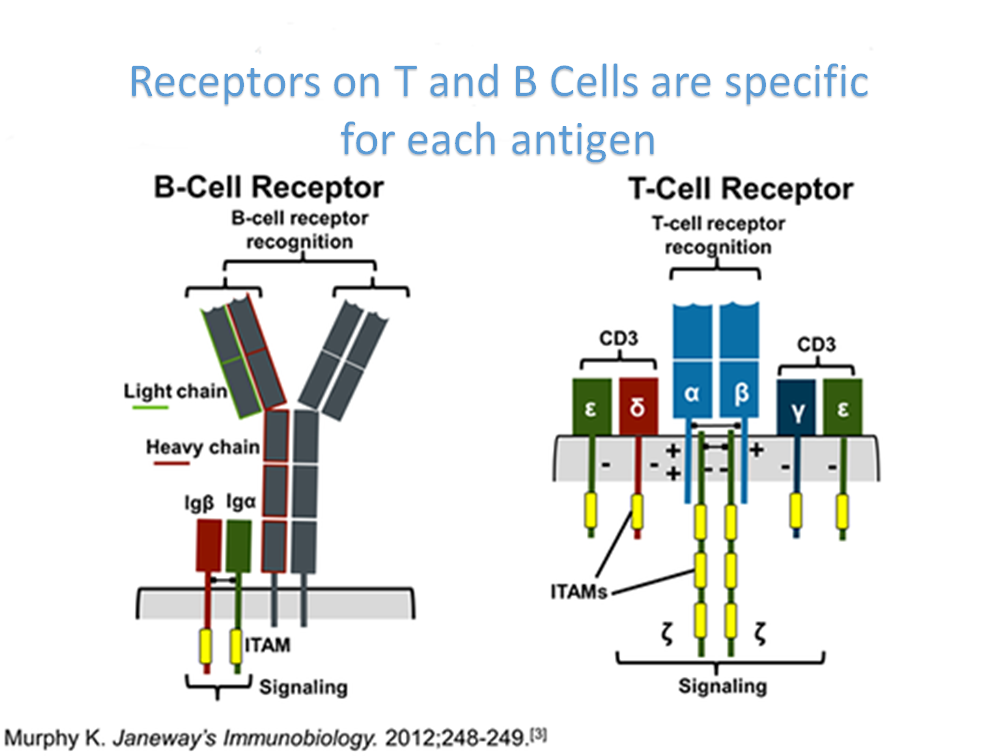 Receptors on T and B Cells are specific for each antigen